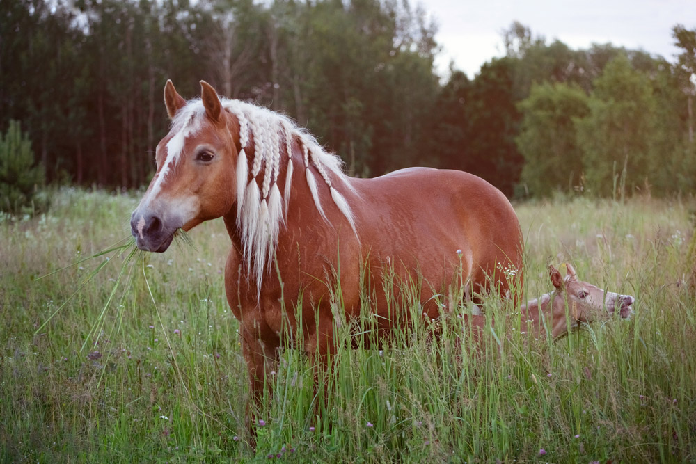 Haflinger mare and horse are agrazing