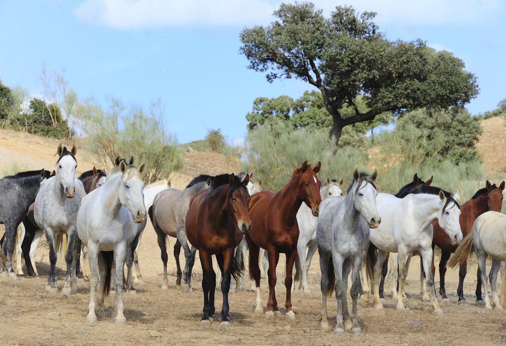 Herd of Andalusian Horses