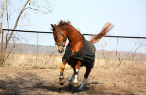 Horse in coat running in paddock