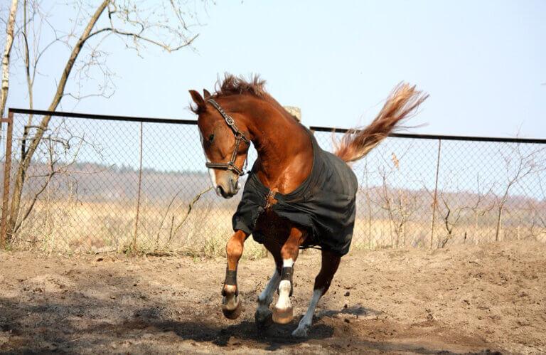 Horse in coat running in paddock