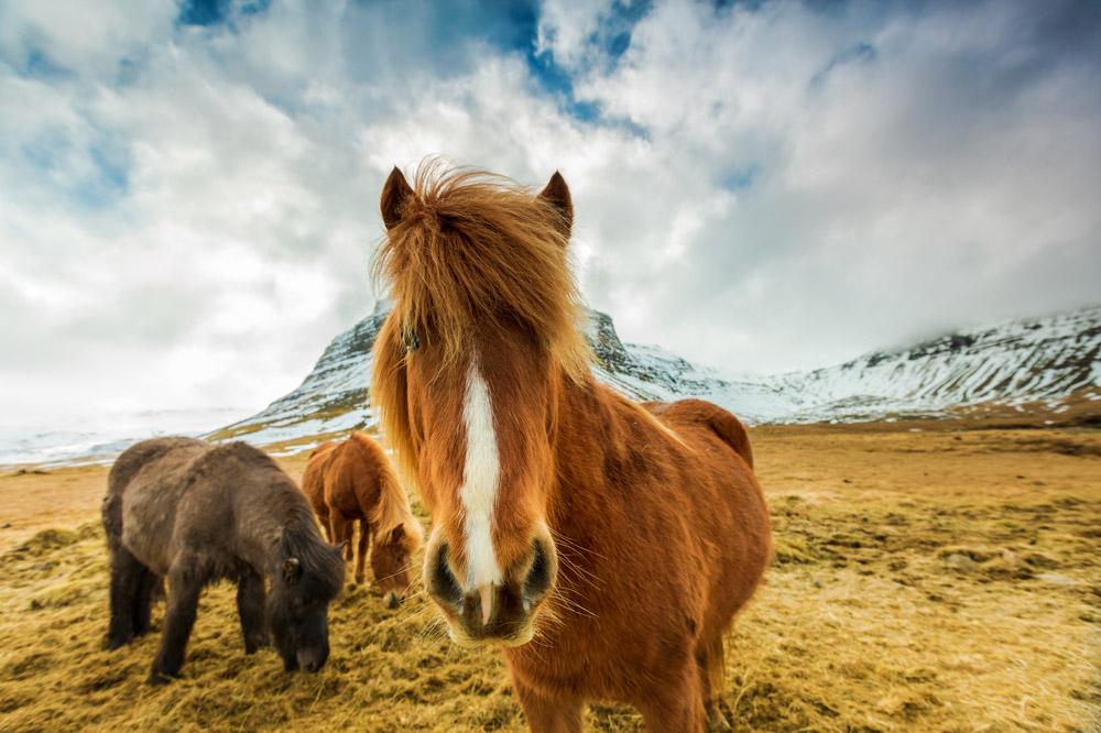 Icelandic horses are grazing around