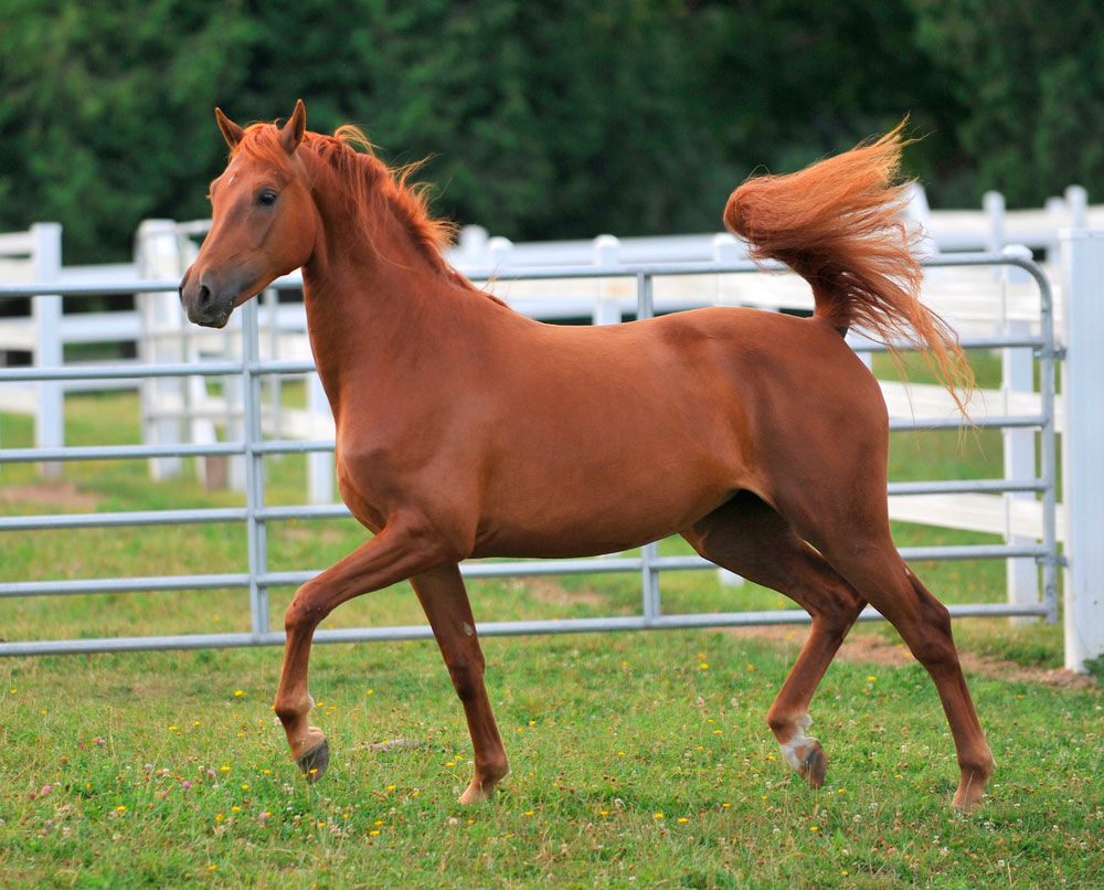 Morgan Horse is running