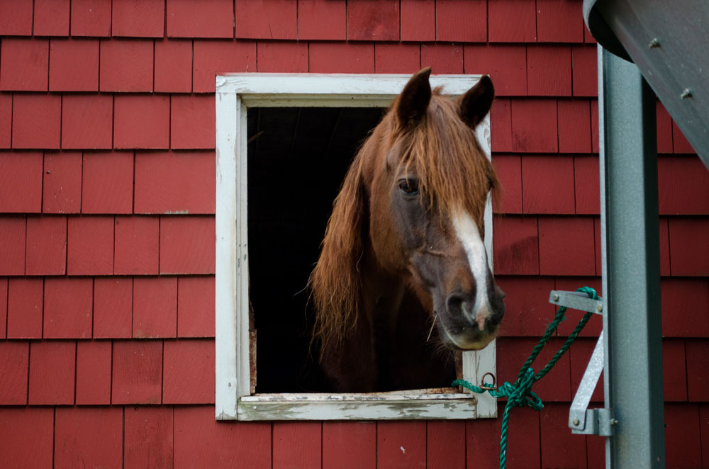 Morgan Horse looking out the barn