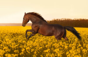 Mustang Horse is running in meadow