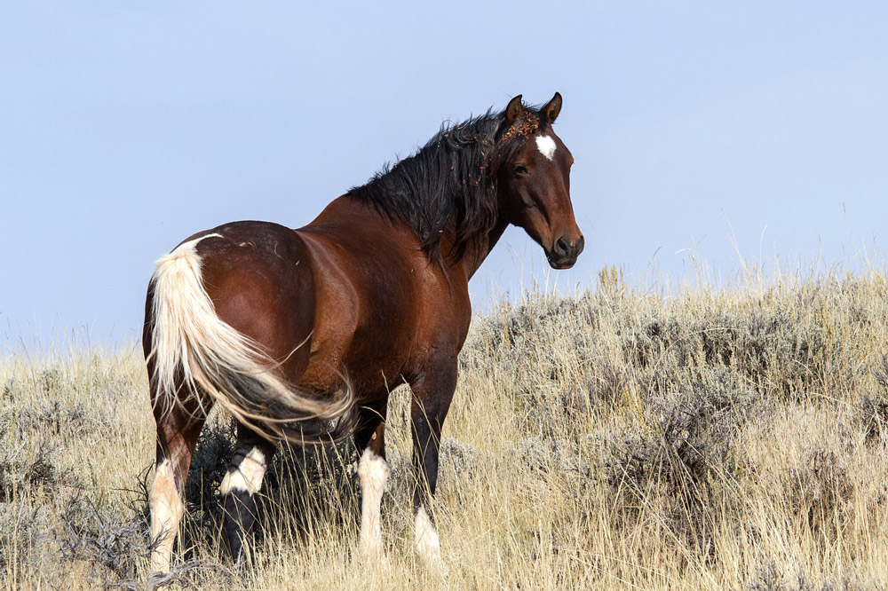 Mustang Horse with white tail