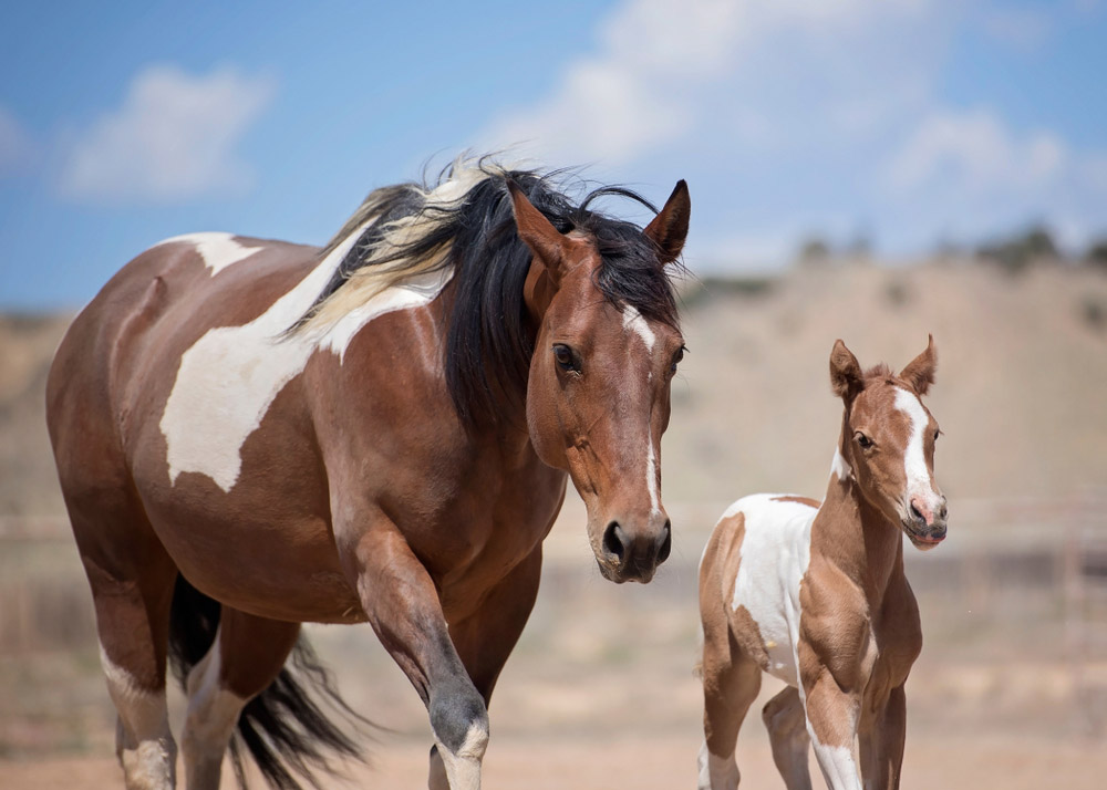 Paint Horse mare and foal