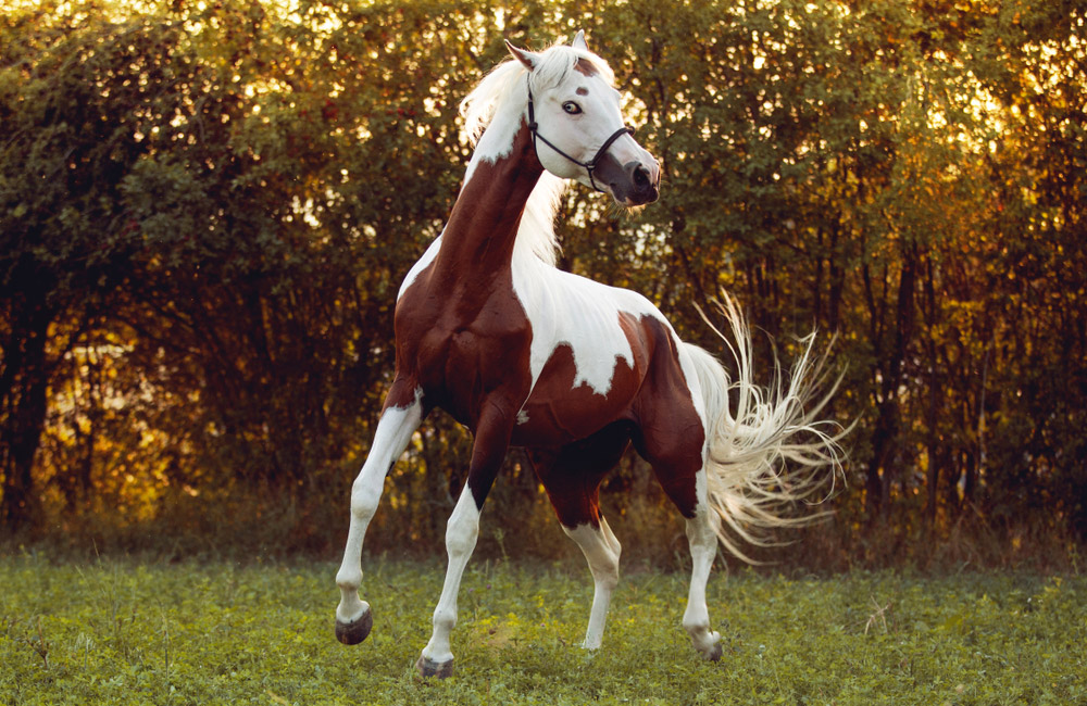 Paint Horse playing around