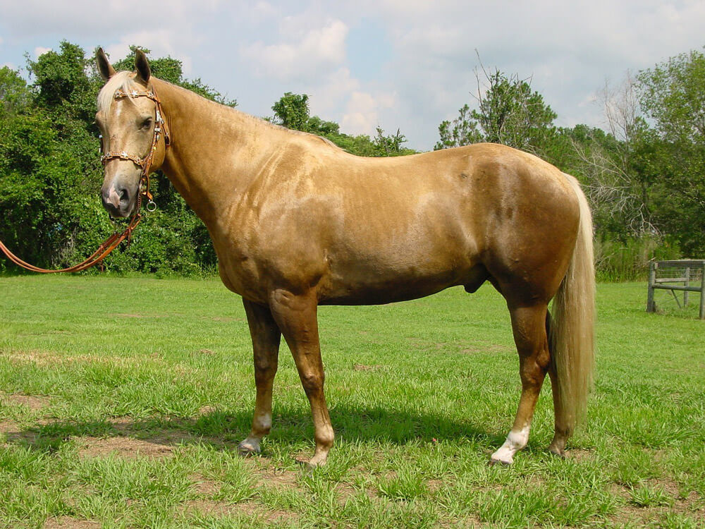 Palomino horse coat color