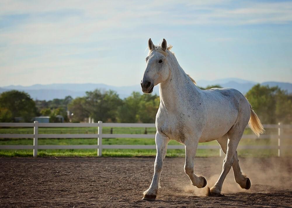 Percheron horse image