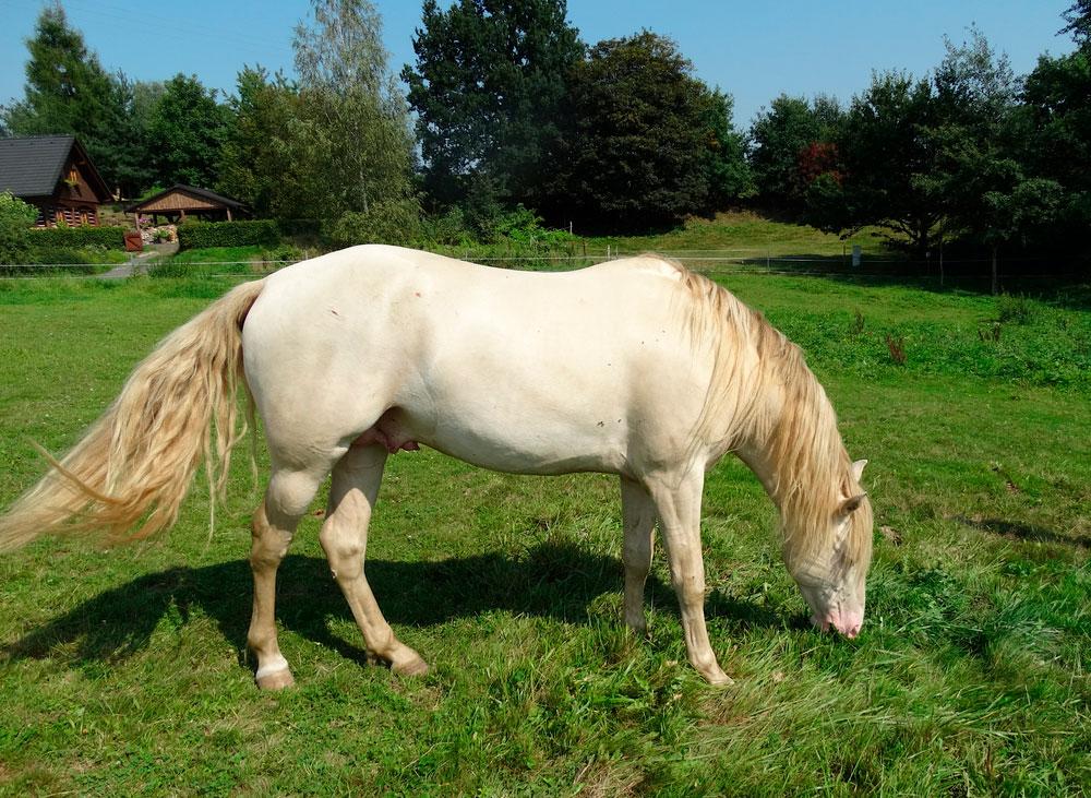 Perlino Kentucky mountain saddle