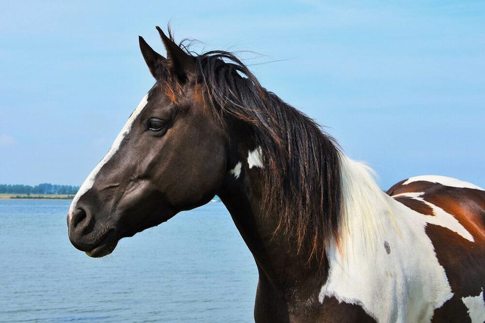 Pinto horse coat color