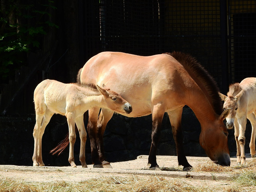 Przewalski Horse mare and foal