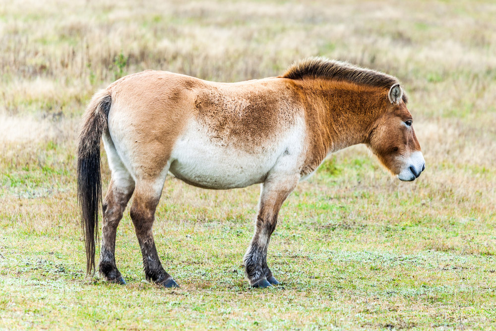 Przewalski Horse with thick coat