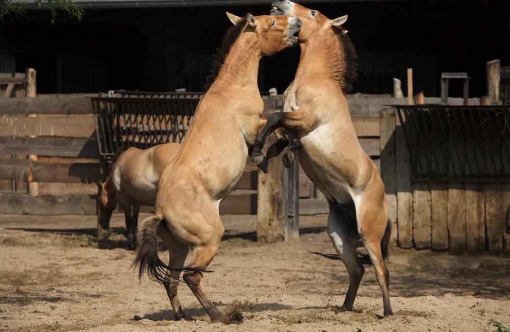 Przewalski Horses fighting