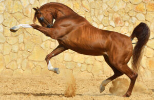 Purebred chestnut arabian stallion playing