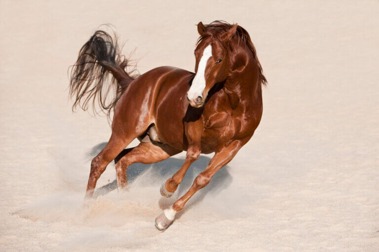 Quarter Horse is playing in sand