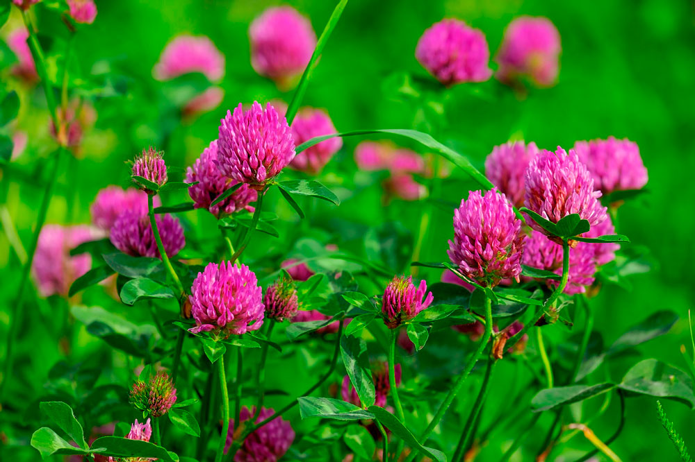 Red Clover flowers close view