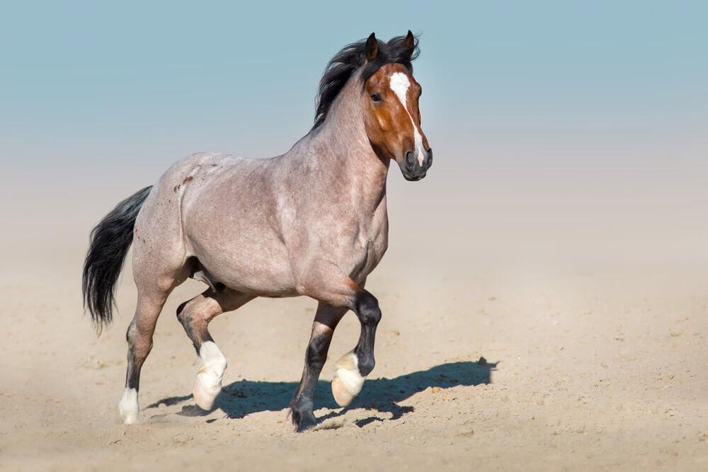 Roan horse coat color