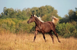 Rocky Mountain Horse is running