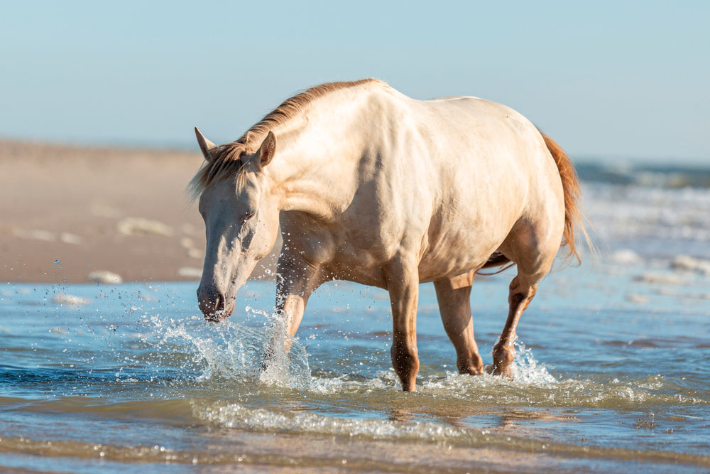 Rocky Mountain Horse resting in water
