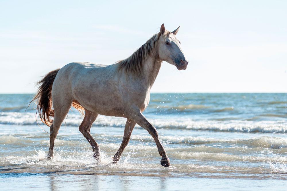 Rocky Mountain Horse strolling the coast