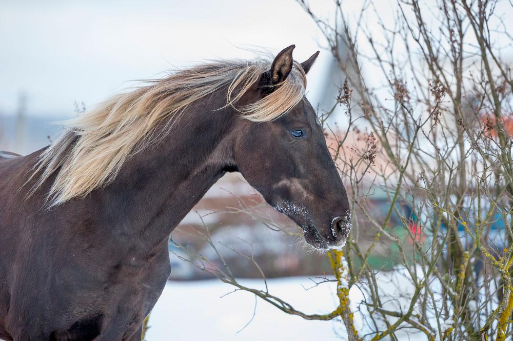 Rocky Mountain Horse with flaxen hair