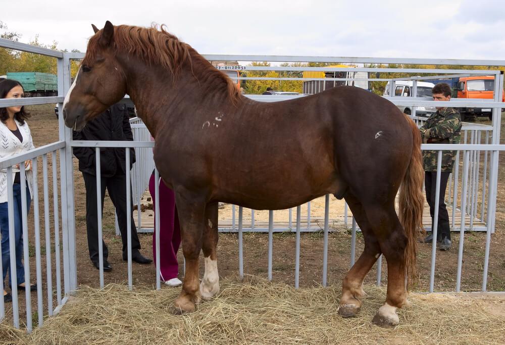 Russian Heavy Draft Horse image