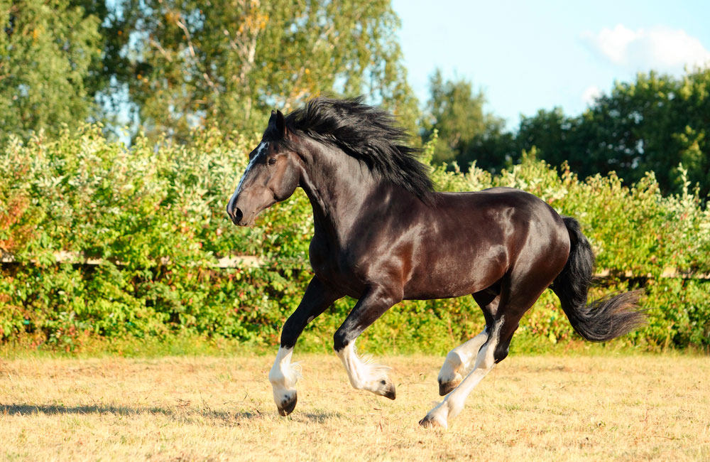 Shire Horse is running