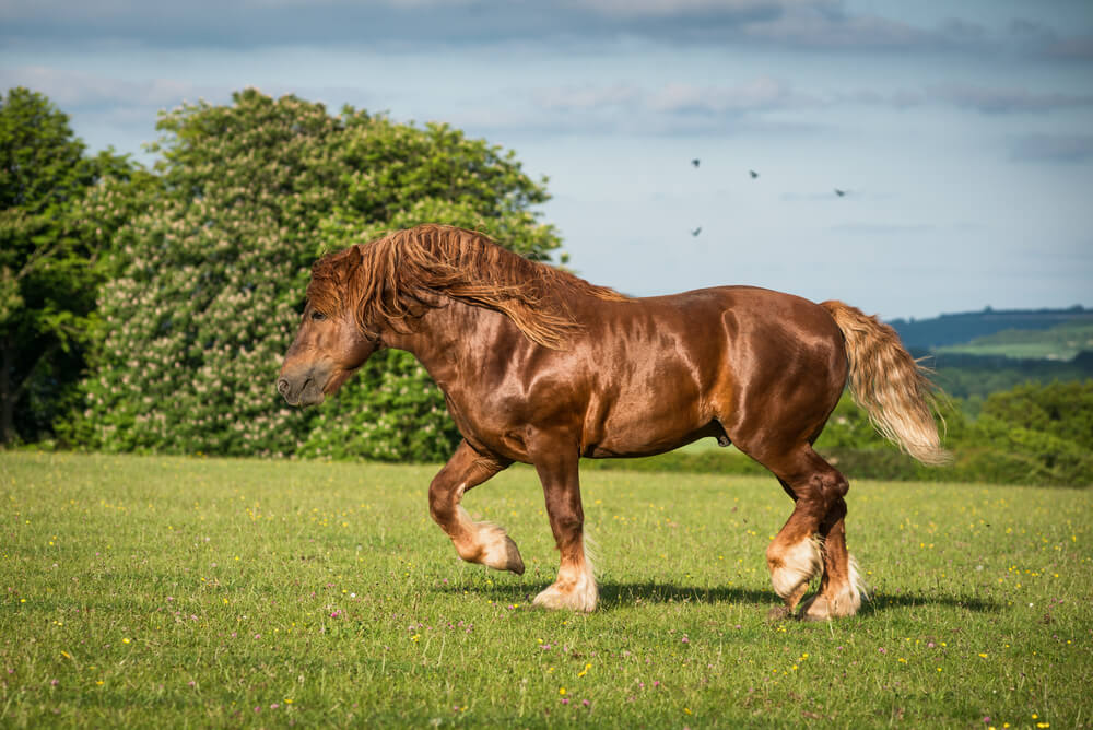 Suffolk Punch horse image