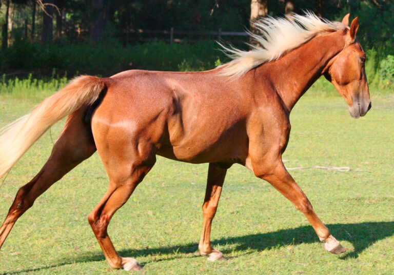 Tennessee Walking Horse is running