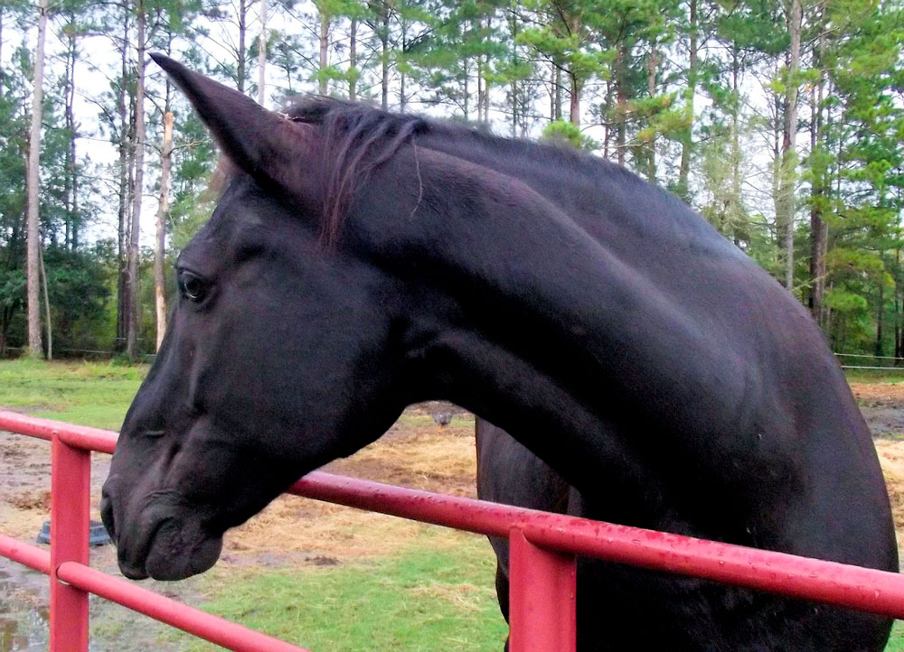 Tennessee Walking Horse over the fence