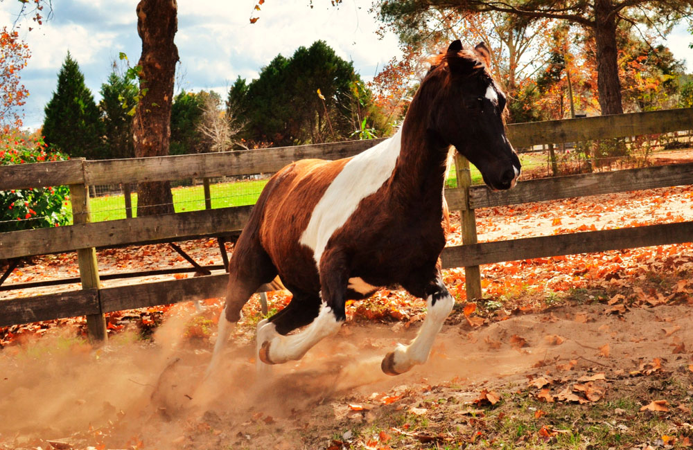 Tennessee Walking Horse with pinto pattern
