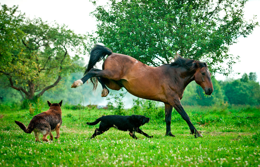 Two dogs playing with horse