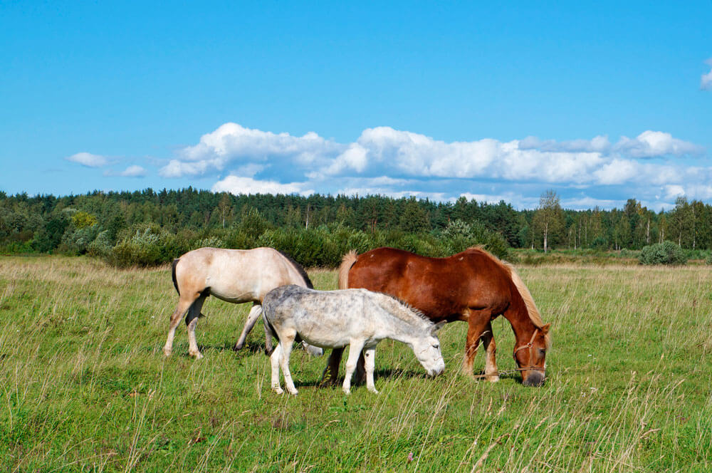 Two horses and one hinny graze on the field