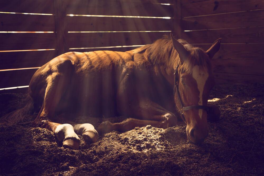 Young weanling horse lying down in stall