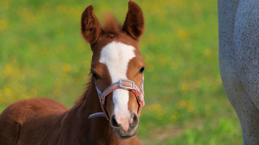 baby horse close up