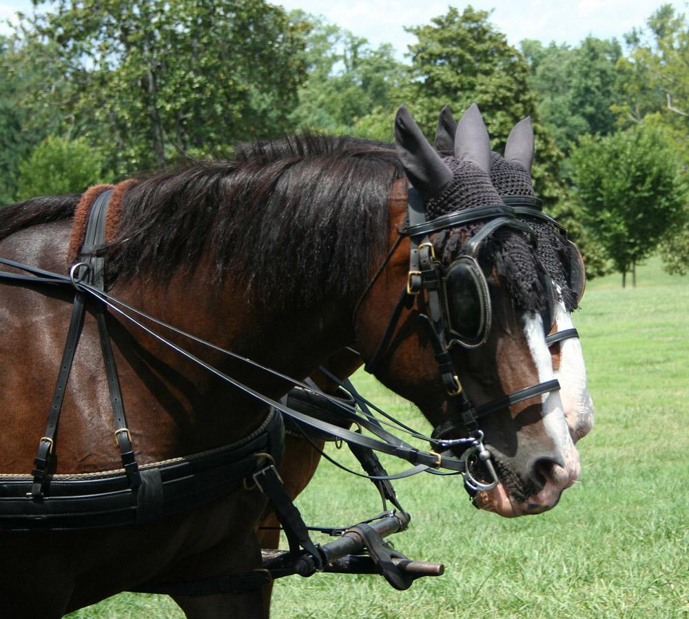 bay Hackney Horses driving