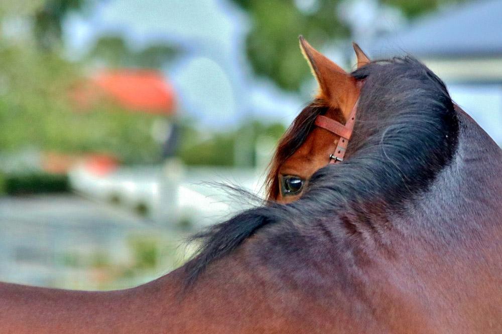 bay andalusian horse close view