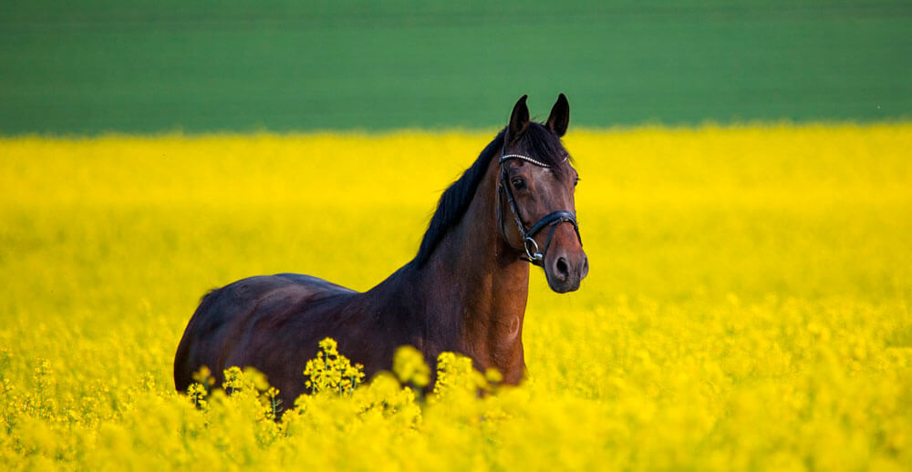bay horse in yellow valley
