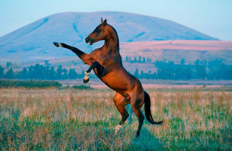 bay horse is rearing in field