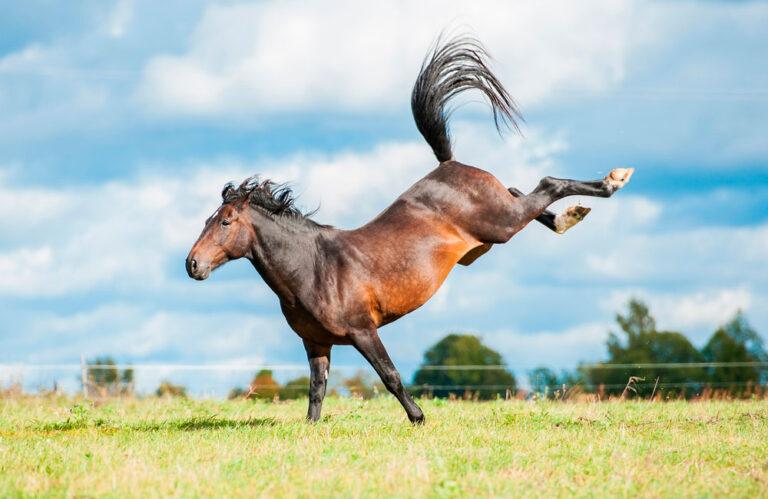 bay horse throwing hind legs in air