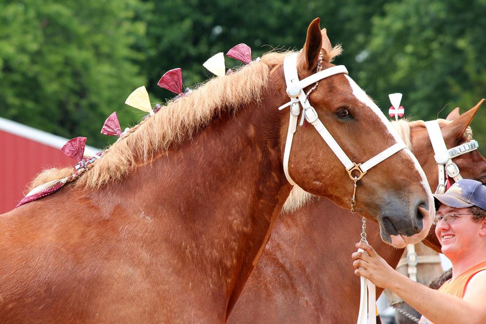 belgian draft horse with mane braids