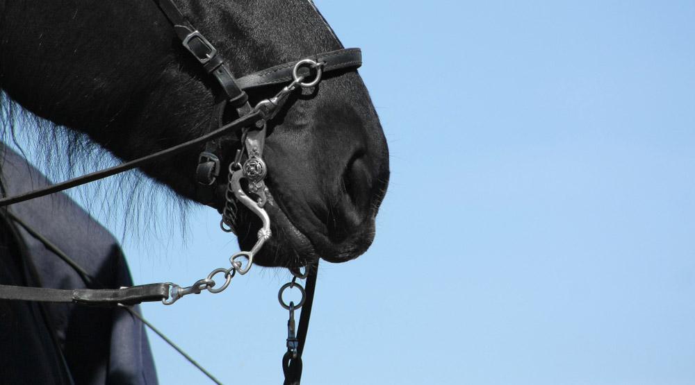 black horse holding steel bit