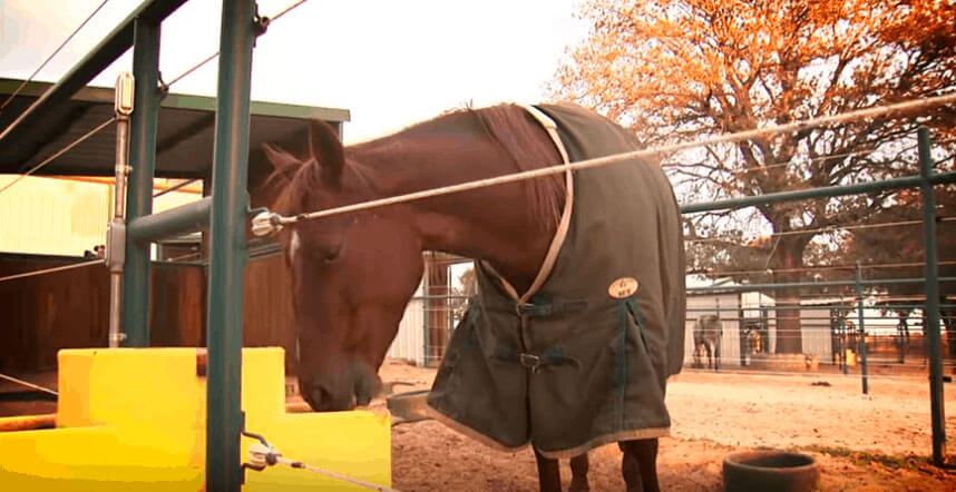 blanketed horse is drinking from yellow waterer