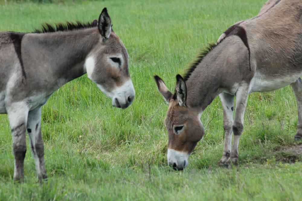 brown and white donkeys are grazing around