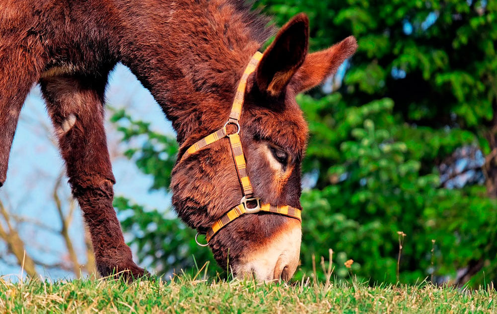 brown donkey is eating grass