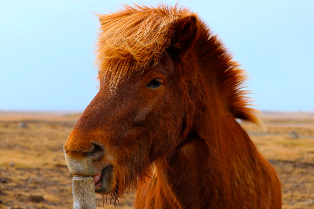 brown horse is licking wooden post