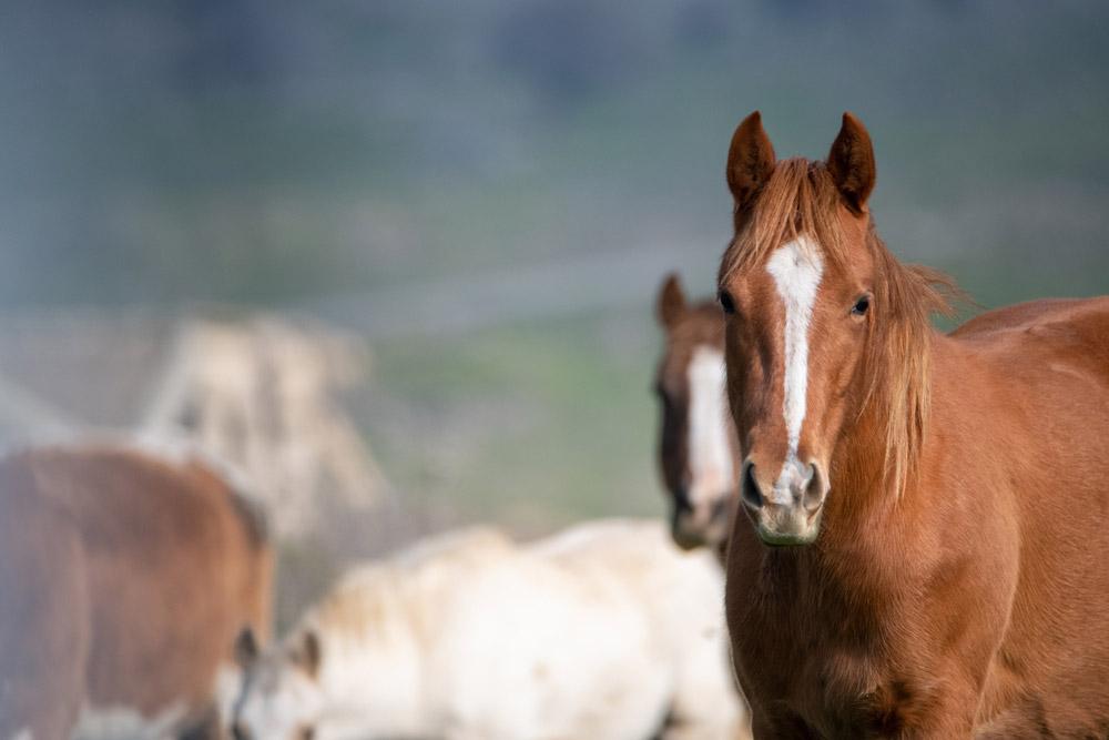brown horse looking forward