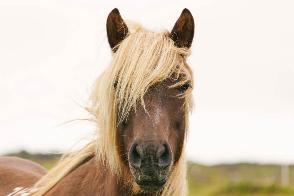 brown horse with white mane close up