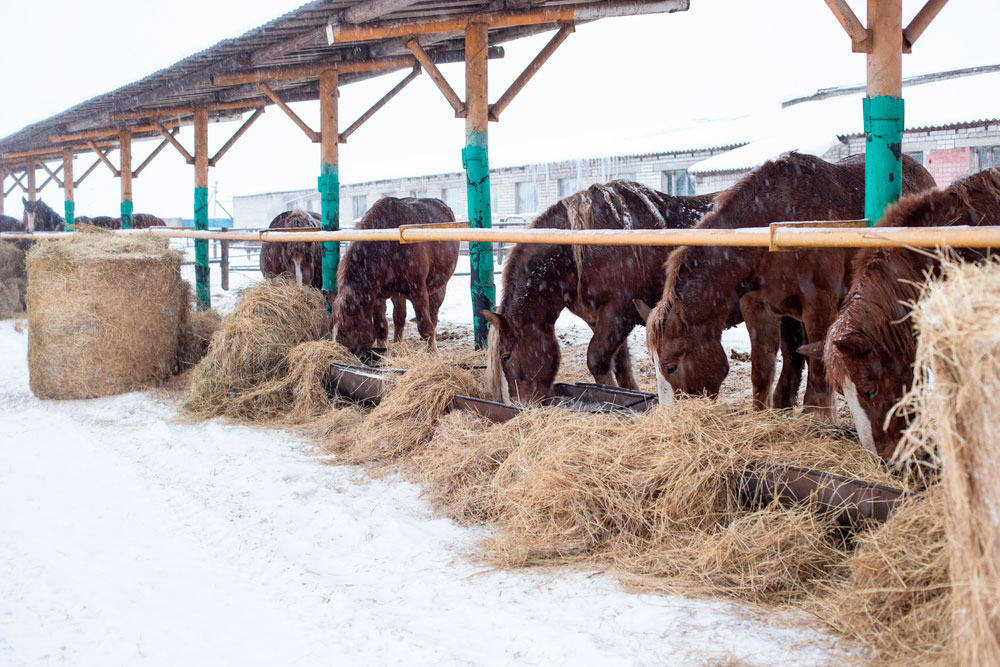 brown horses are grazing hay in winter